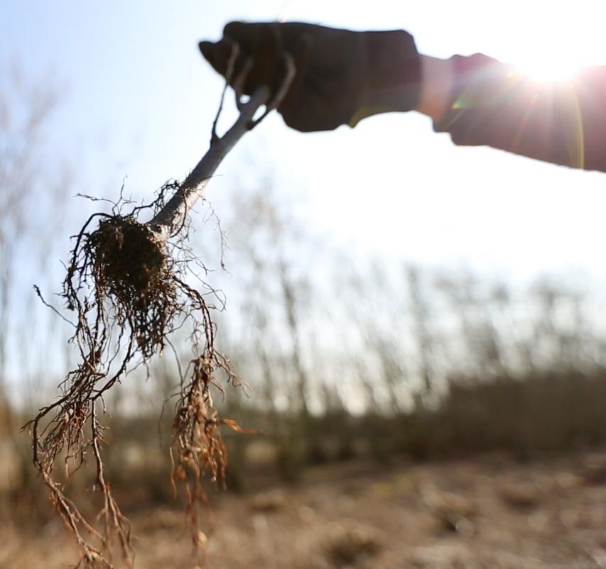 roggebotstaete boom in de grond