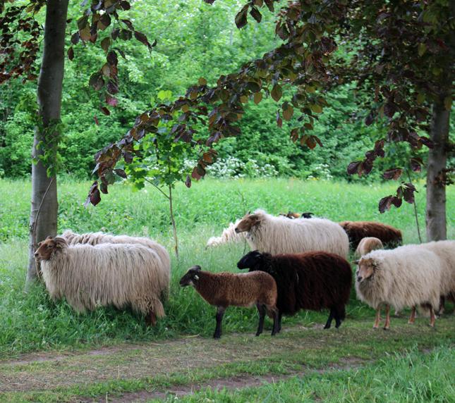 roggebotstaete-schapen