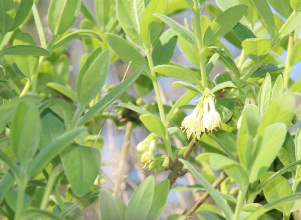 honingbes in bloei